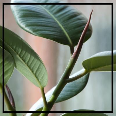 Rubber Tree -