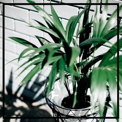 Parlour Plant -