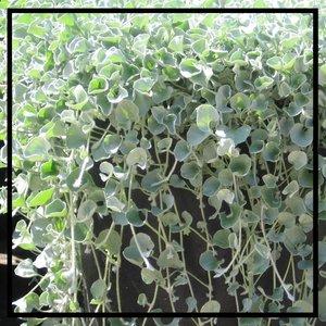 Silver-Dichondra-Hanging.jpg