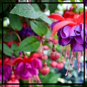 Fuchsia-Flower-GettyImages-604243721-588b7f003df78caebc446483.jpg