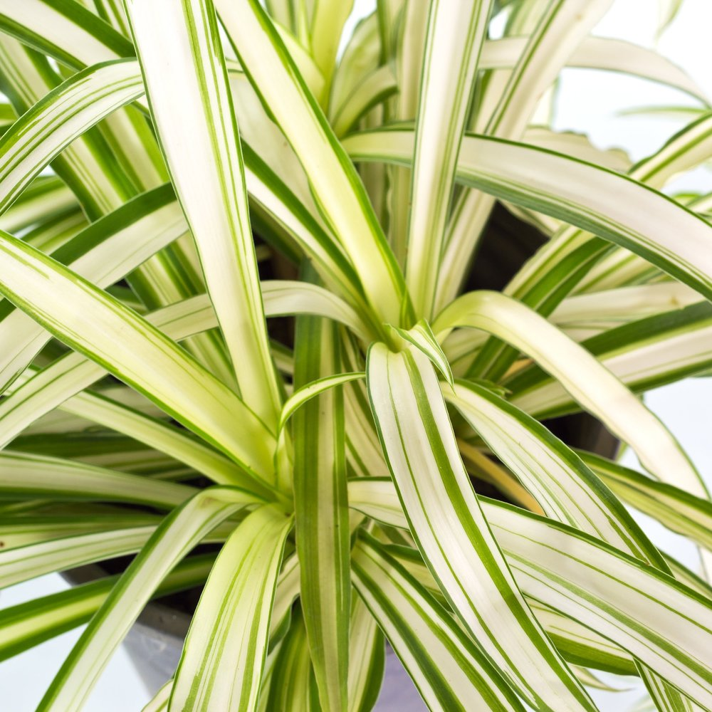 Spider Plant -