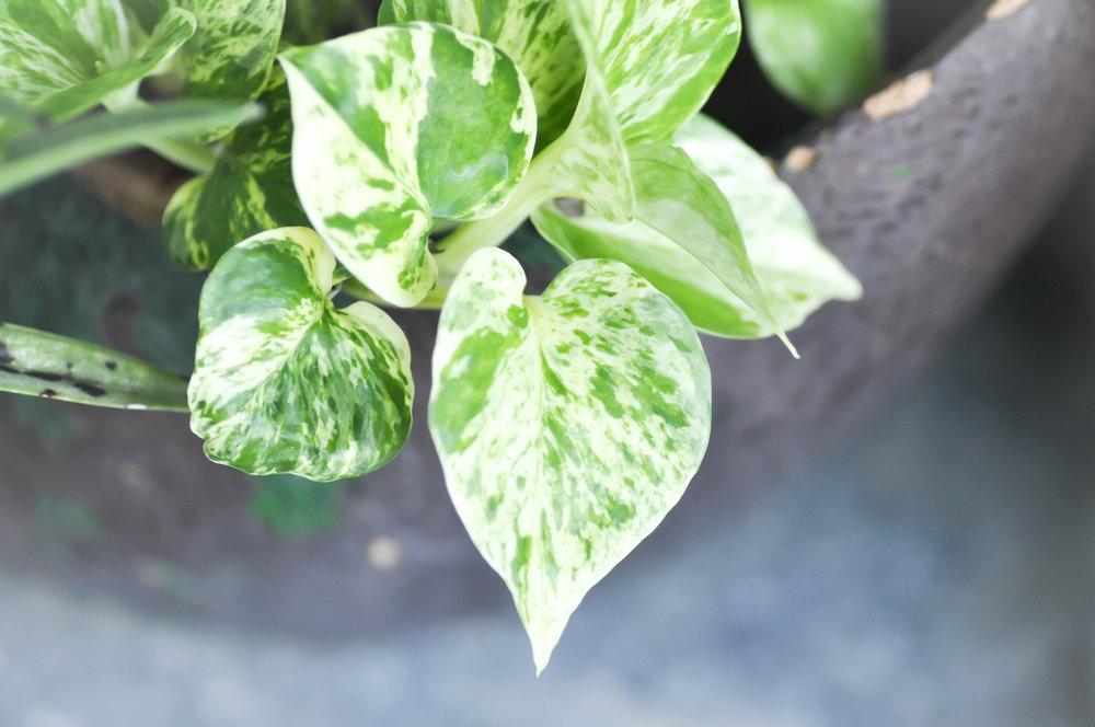 Devils Ivy -