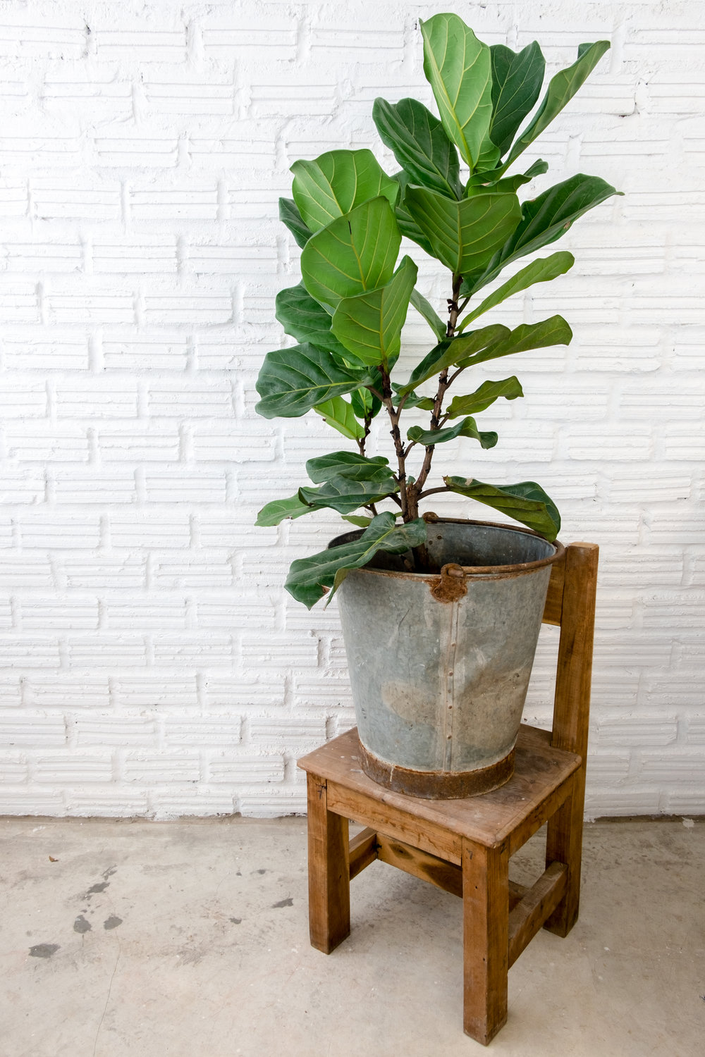 Fiddle Leaf Fig -