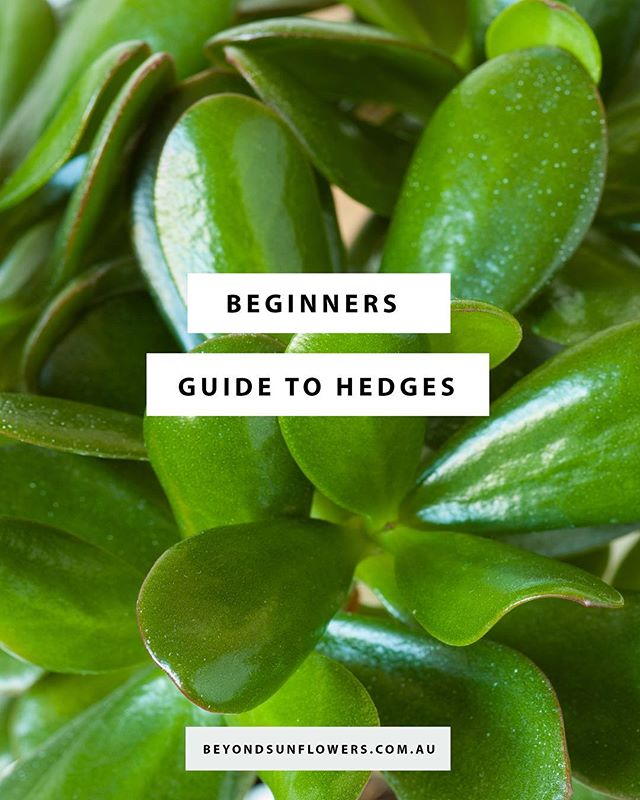 There are many options for hedges. The most important and critical feature of a hedge is that it should be hardy and long-lived so you're not needing to replace plants and gaps in between your hedge do not develop. Your climate and the soil type you're working with also needs to be considered in the success of your hedge long term.