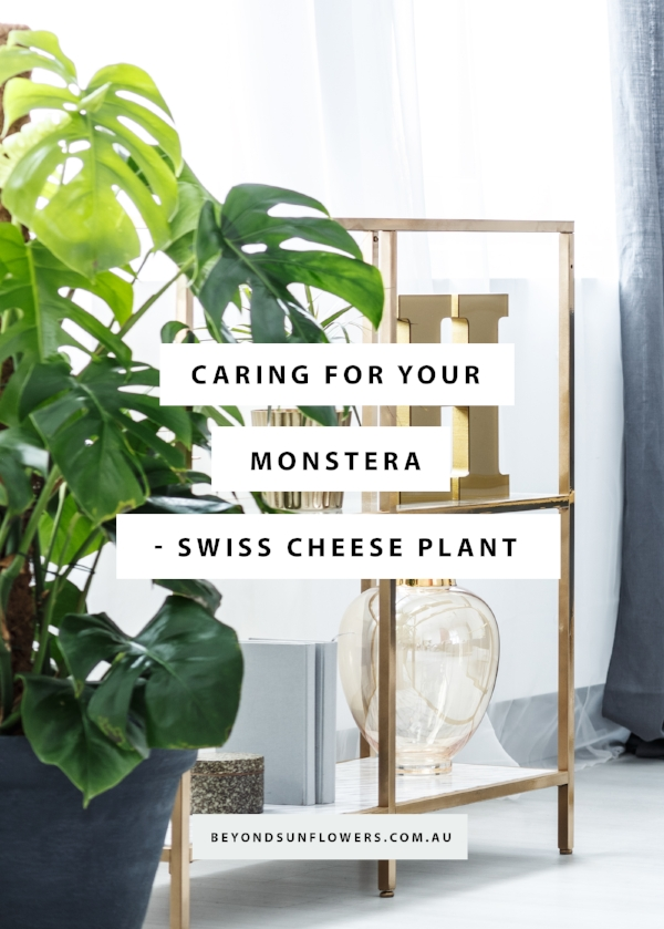 CARING FOR YOUR MONSTERA - SWISS CHEESE PLANT