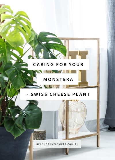 This weeks blog... - Swiss Cheese Plant; Monstera deliciosa is a native to the jungles of Southern Mexico and Guatemala, a very easy houseplant that needs space to grow giving your home that instant jungle feels. Possessing all the qualities that are required of a good houseplant this house plant is making a comeback.Read more...