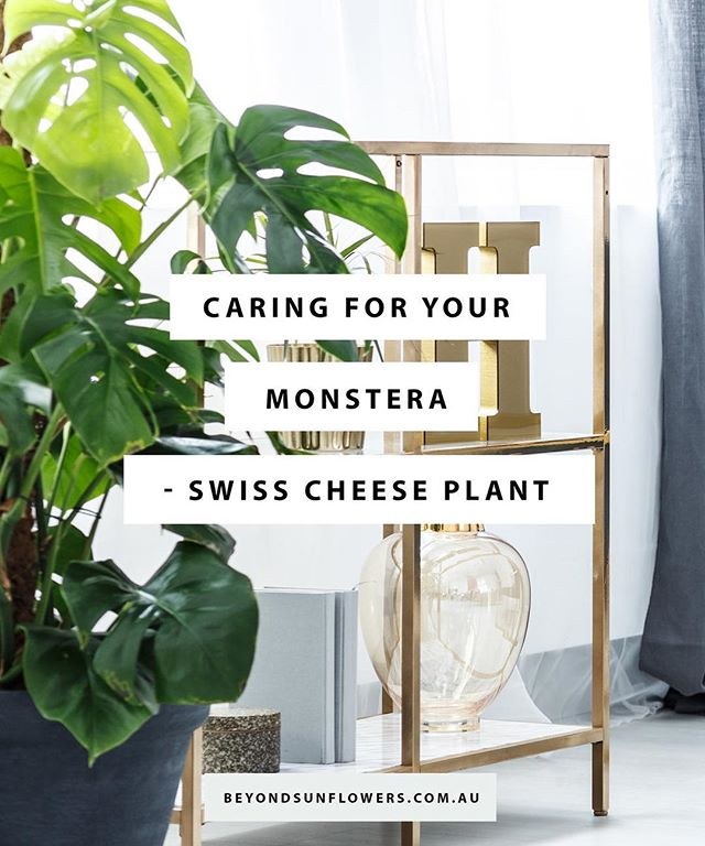 Swiss Cheese Plant; Monstera deliciosa is a native to the jungles of Southern Mexico and Guatemala, a very easy houseplant that needs space to grow giving your home that instant jungle feels. Possessing all the qualities that are required of a good houseplant this house plant is making a comeback. See link in profile for more info.