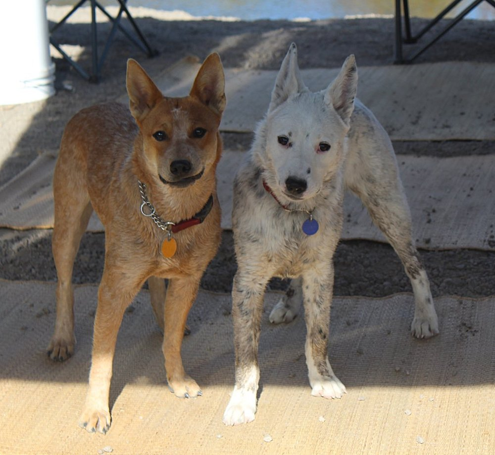 Best Camping Buddies - Here are Lily and Sully. They are abundantly ready for a romp around the Owyhee canyons to find bees, burs, fish, and most importantly sticks and treats. Lily (sporting the 'do you feel lucky punk?' look) is 10 months and Sully (with a stone cold 2 dog gang face) is 6 months and a ready crew for whatever comes their way. (photo by Lisa Field)