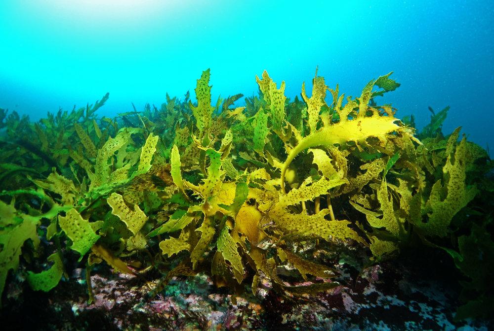 14271638507_d22373eec0_o-kelp-sharkpoint.jpg
