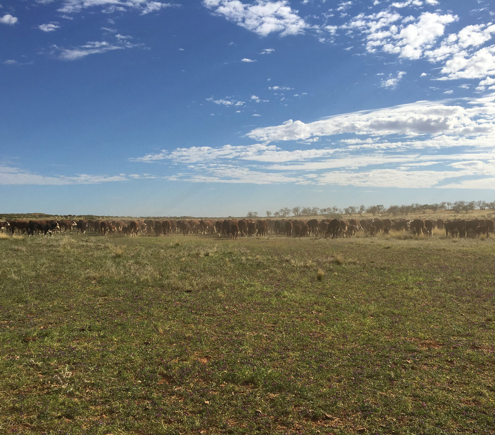 Droving cattle: Anna Creek