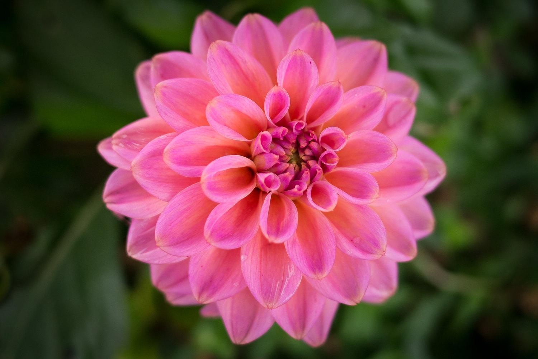 Pink dahlia flower photo greeting card pretty greeting cards pink dahlia flower photo greeting card izmirmasajfo
