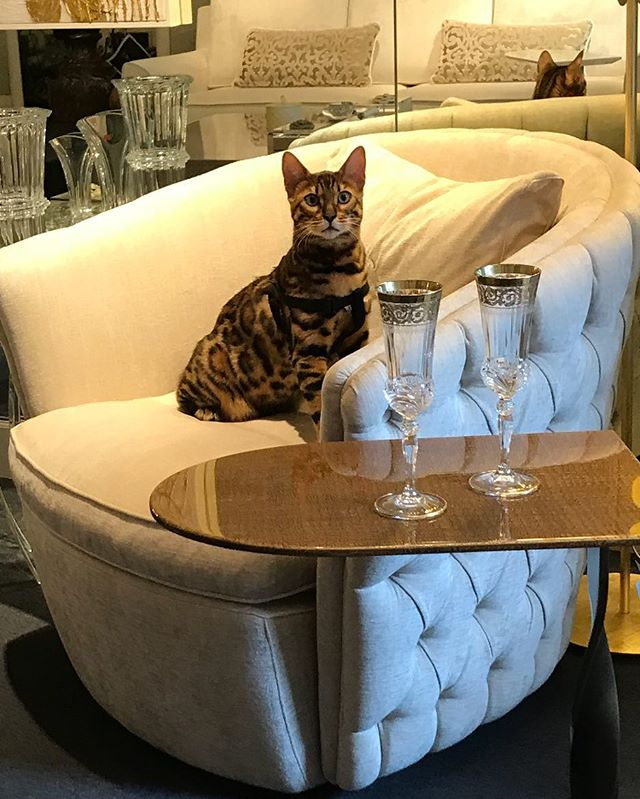 What's new Pussycat? #desforges#decoration#homedecor #homedesign #armchair #madeinitaly #luxuryfurniture #geneva #genevashopping #furnitureshop #interiordecoration #meublesluxe #architecturedintérieur #genève #geneveshopping #fauteuil #capitonné #زخرفة#أثاث#جنيف#ترف#التسوق#كرسي