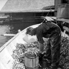 Fisherman sorting out strömming on a skötbåt