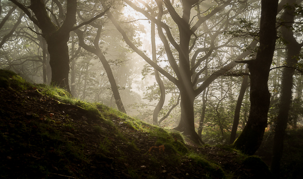 These conditions are everything you could hope for in a morning. The warm sunlight burning through a thick fog, creating those elusive streams of light through the trees and illuminating patches of moss and grass. This might have a place on my wall in a few months.