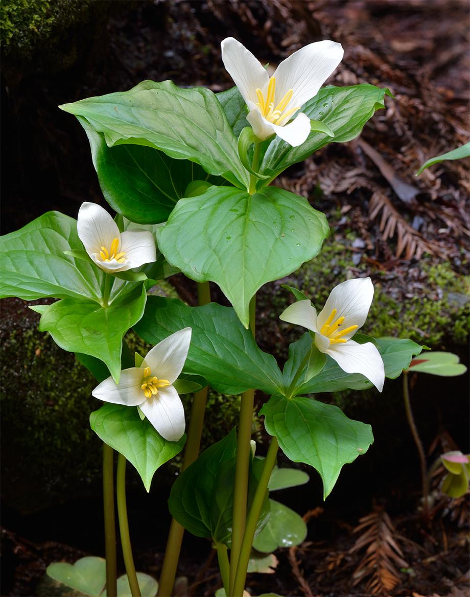 Four Trillium Blossoms