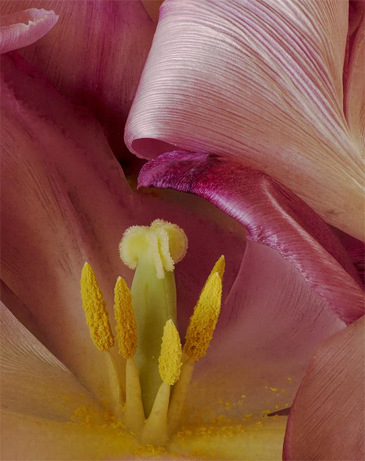 Tulip Aging