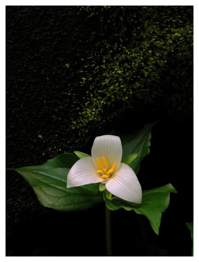 Trillium, Moss