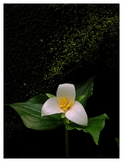 From darkness beneath a moss-covered stone, a trillium reaches out to capture light which filters down through the high, distant crowns of stately giants, the Redwoods.