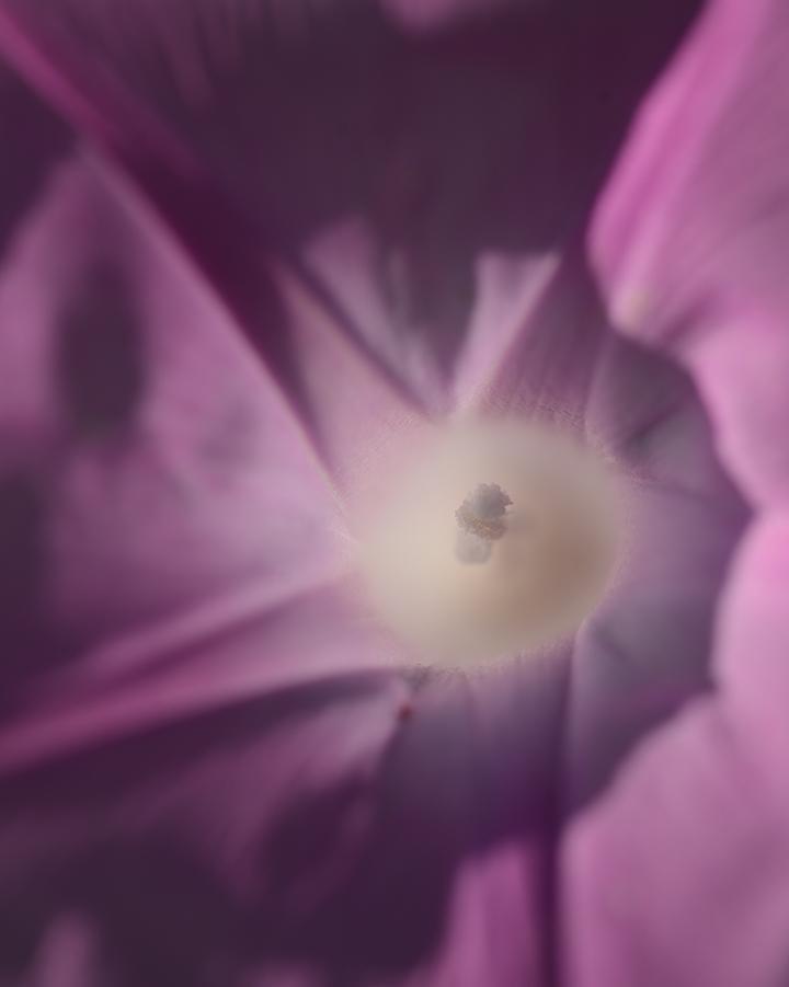White Pollen Lavender Glory