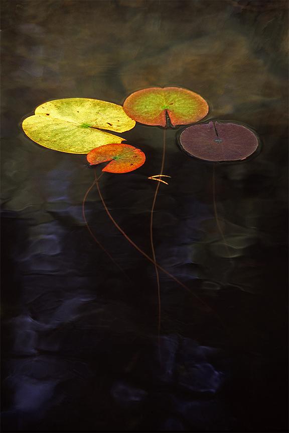 Lily Pads On Stone Bottom Lake