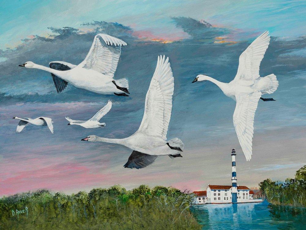 Tundra Swans over Lake Mattamuskeet by Duane Raver