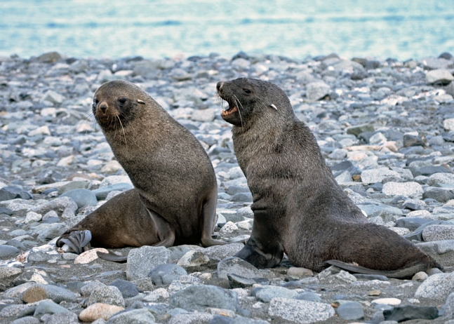 Seals frolicking in   Whaler's Bay, Deception Island .    Photo by Kim Michele