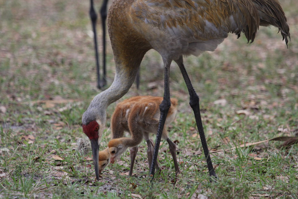 Sand Hill Crane with chicks