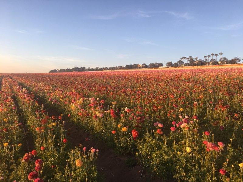 The Flower Fields (2).jpg
