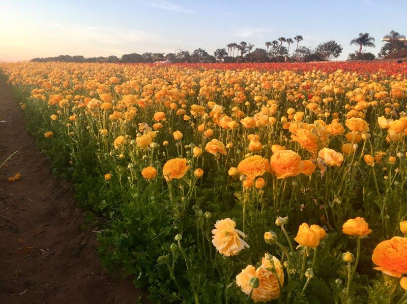 The Flower Fields (5).jpg