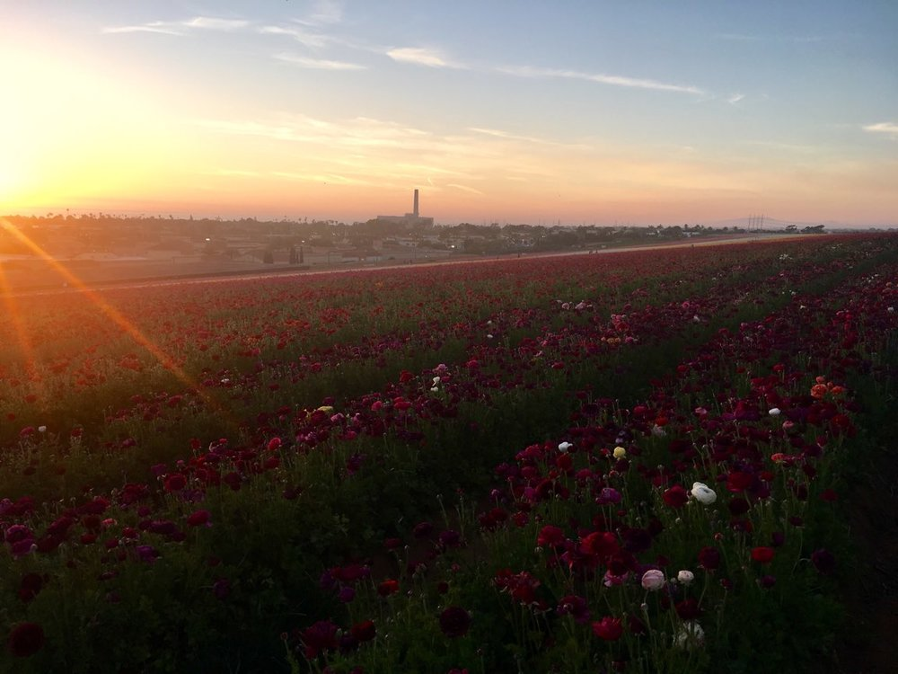 The Flower Fields (4).jpg