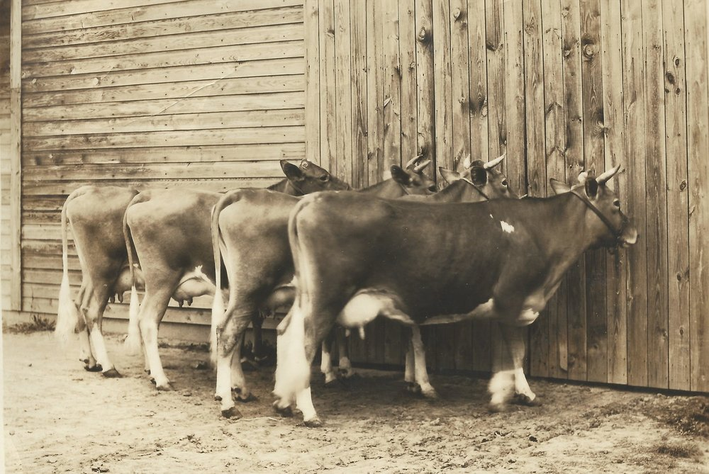 Prize cows at the old diary