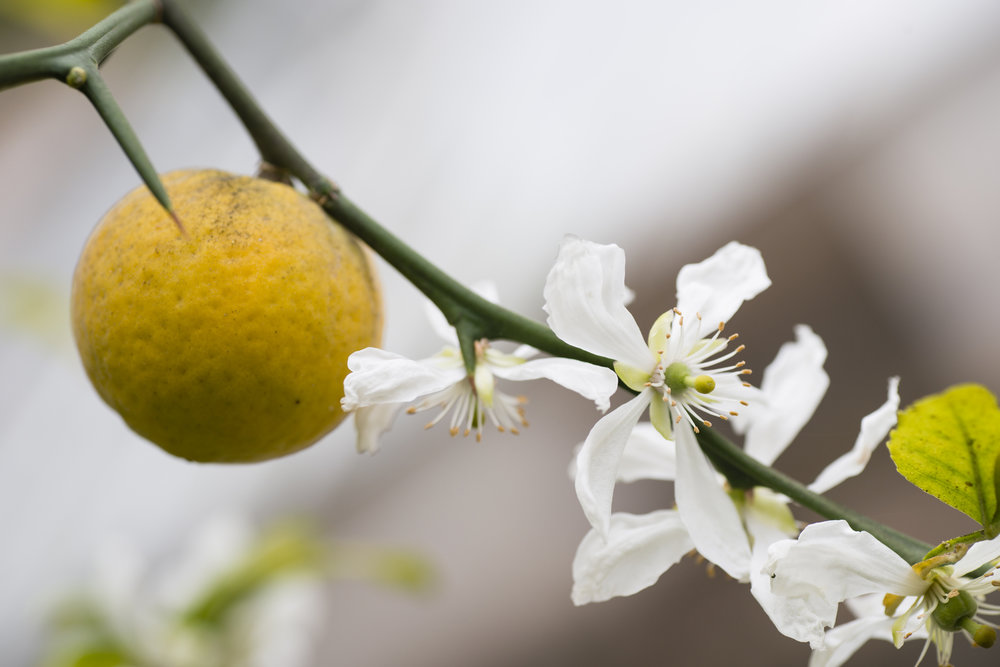 Trifoliate Orange in bloom
