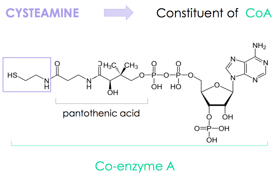Chemical identity : Cysteamine as constituent of Co-enzyme A