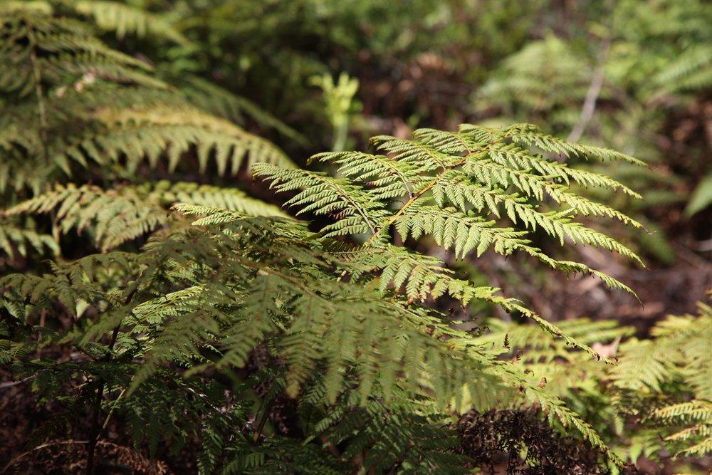 fern-blackheath.jpg