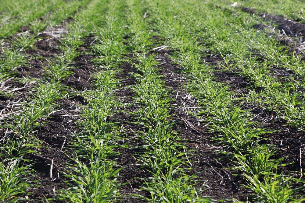 Crops on Liverpool Plains farm land.
