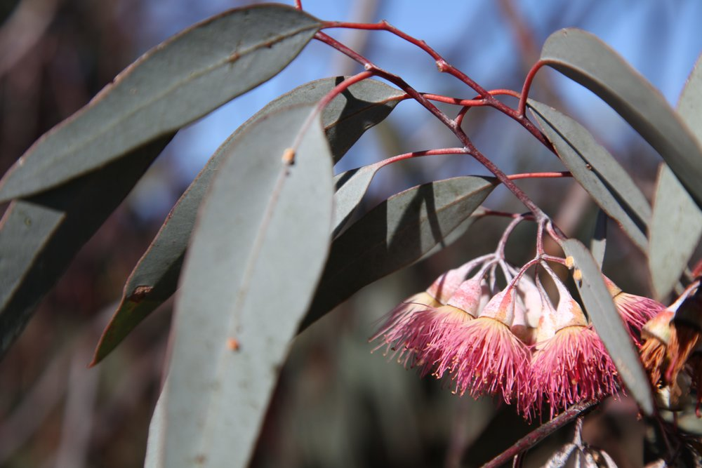 eucalyptus-liverpool-plains.jpg