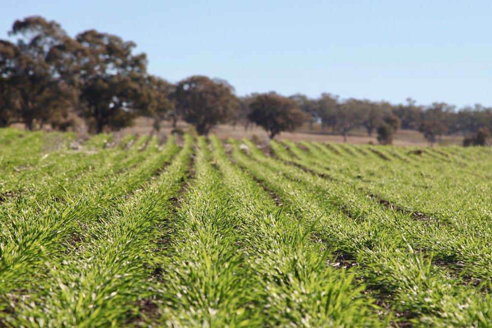 crops-barley-liverpool-plains.jpg