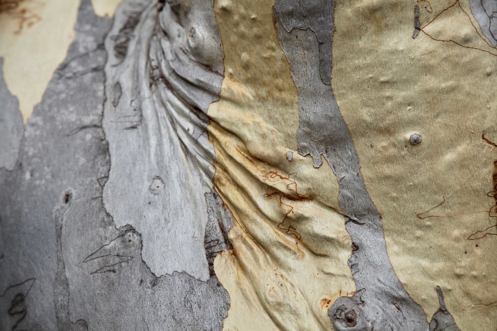 wrinkly-scribbly-gum-royal-national.jpg