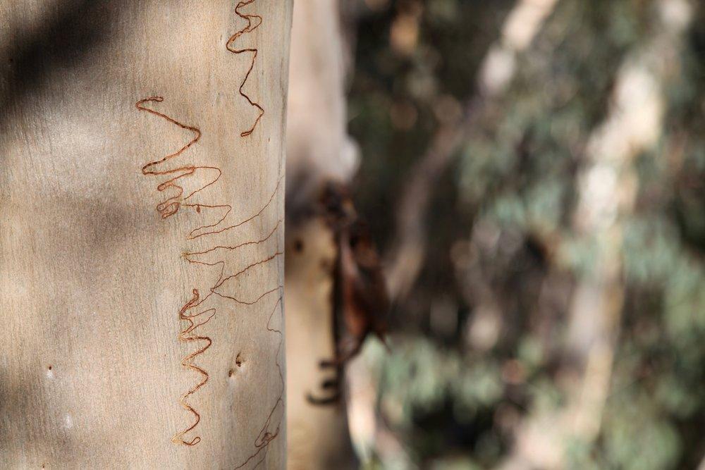tree-berowra.jpg