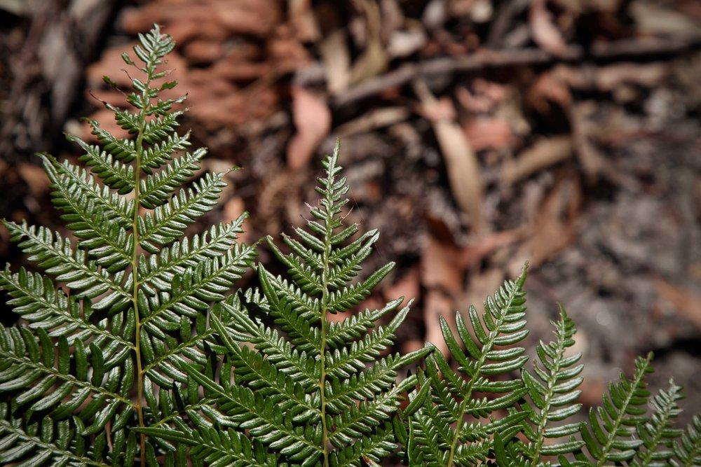 berowra-ferns.jpg