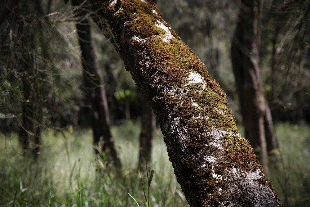 berowra-valley-moss-tree.jpg