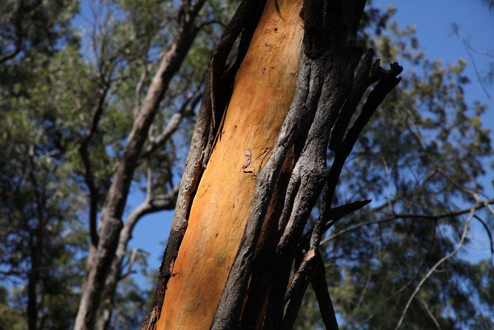 writing-tree-berowra.jpg