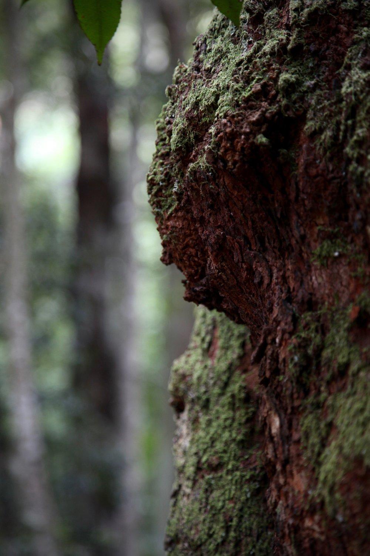 leura-tree.jpg