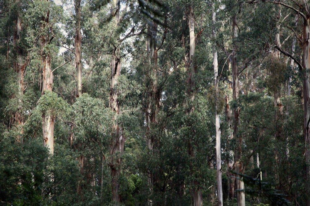 dandenong-ranges-ferns-eucalypt.jpg