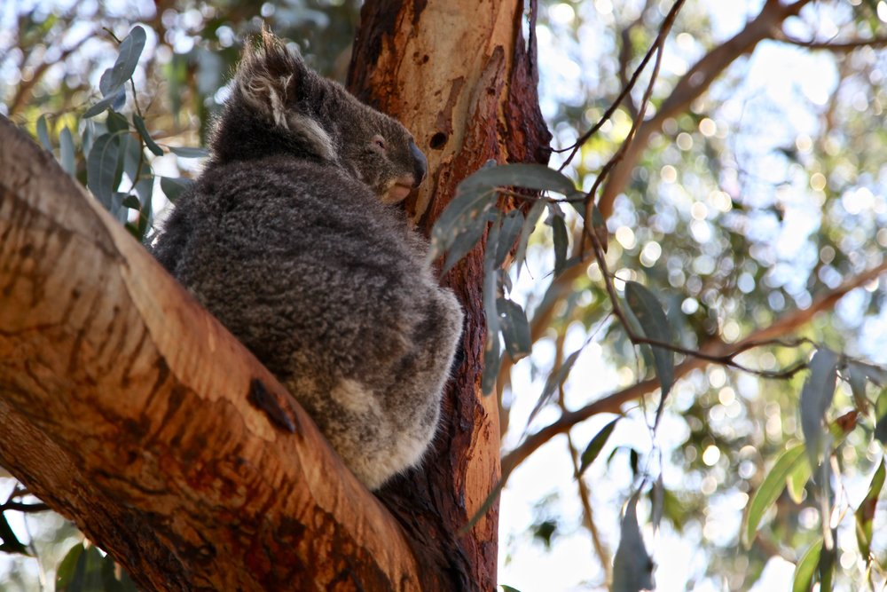 Stop in for lunch and some koala spotting at Kafe Koala in Kennett River.