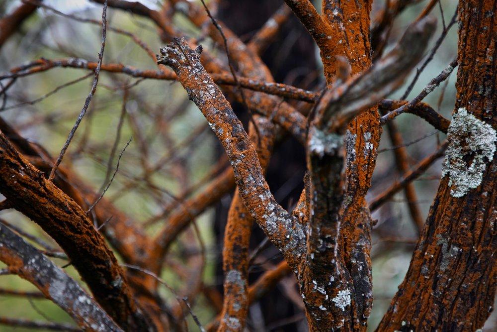rust-tree-grampians.jpg