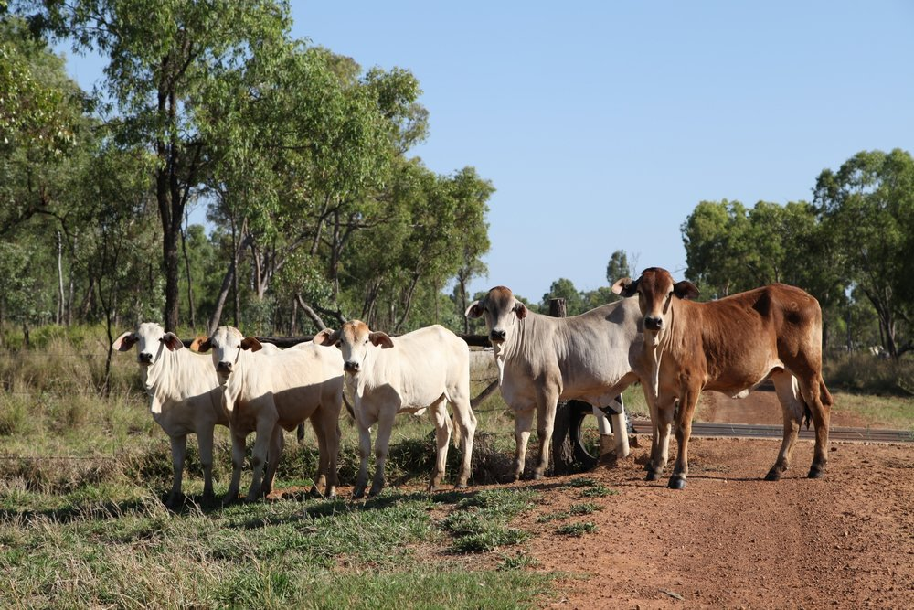 Cattle in central Queensland — on the road to land being eyed off by mining companies seeking to dig coal from the Galilee Basin. November 2012.