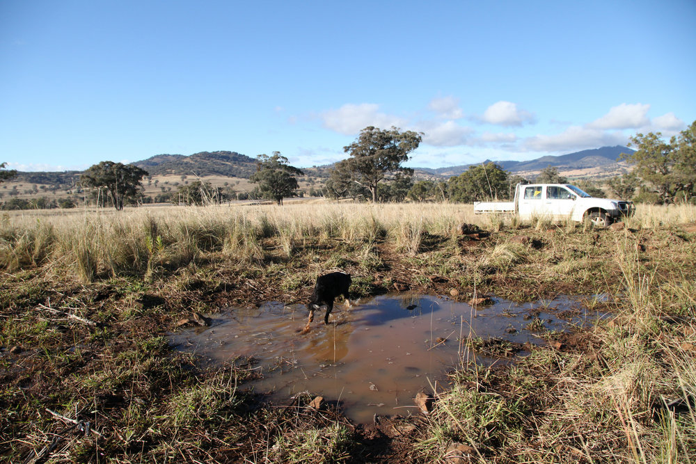 Dog plays in water on farm land in north west NSW.