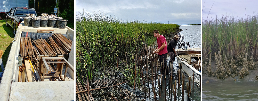 From Left: Loading up tomato sticks and dead shell for planting; Planting tomato sticks;  Oysters taking hold and growing on bamboo-twelve months of growth.      +++  Click image  to enlarge.