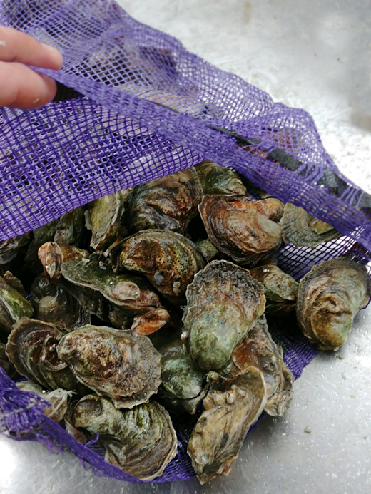 Bushels of wild-harvested Maggioni Oysters.